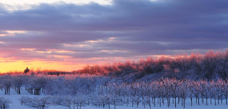 """Tree Farm Sunset"" color photograph Douglas Racine"